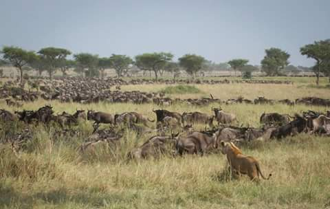 Wildebeestmigration.jpg